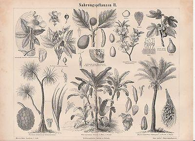 Nahrungspflanzen Feigenbaum Banane Mandelbaum dattelpalme HOLZSTICHE von 1877