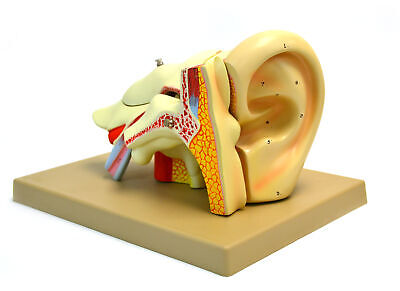 Eisco Labs Model Human Ear 5 Parts 4x Life Size