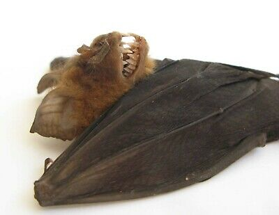 Real  Bat Hipposideros larvatus hanging Halloween Horror Taxidermy -