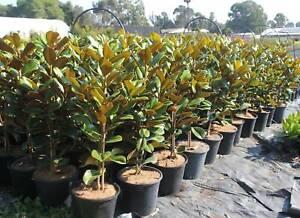 Teddy Bear Magnolia – 250mm Pots