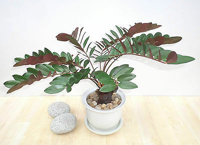 "19"" Zanzibar Gem Plant, Artificial Faux Silk Bush, Imitation Fake Replica Shrub"