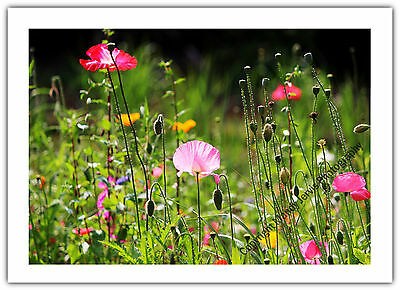 Greetings Card Birthday / Blank Notelet - Poppies Wild Flowers Garden Nature ()