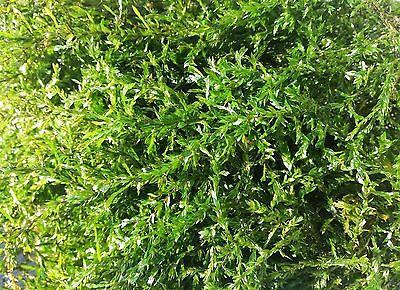 Quellmoos einfache immergrüne Wasser / Teichpflanze.  1 Litr,   Sauerstoff pur