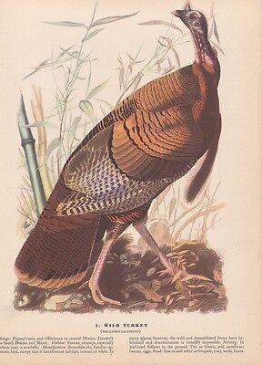 "1942 Vintage AUDUBON BIRDS #1 ""WILD TURKEY"" Full Color Art Plate Lithograph"
