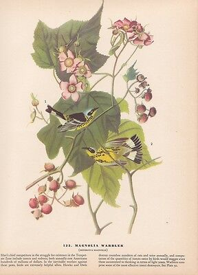 """1942 Vintage AUDUBON BIRDS #123 """"MAGNOLIA WARBLER"""" Color Art Plate Lithograph"""