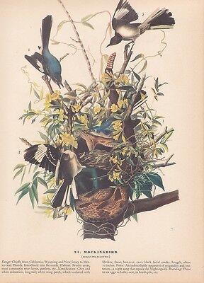 "1942 Vintage AUDUBON BIRDS #21 ""MOCKINGBIRD"" Full Color Art Plate Lithograph WOW"