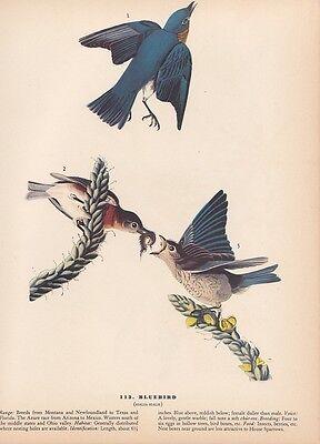"""1942 Vintage AUDUBON BIRDS #113 """"BLUEBIRDS"""" GORGEOUS Color Art Plate Lithograph"""