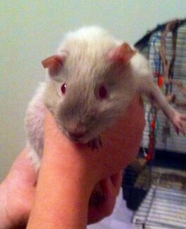 Guinea pig found, friendly little girl South Bunbury Bunbury Area Preview