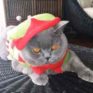 British Shorthair looking for a new loving home Wellington Point Redland Area Preview