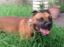 English Staffordshire Bull Terrier Currumbin Gold Coast South Preview
