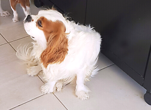 King Charles Cavalier  Male Toowoomba Toowoomba City Preview