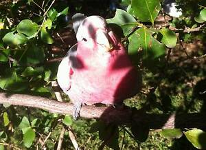 LOST - Pink and grey GALAH. Kenwick Area Kenwick Gosnells Area Preview