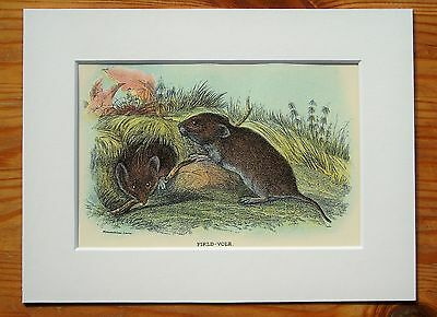 Field Vole - Mounted Antique British Animal Print Victorian Lithograph