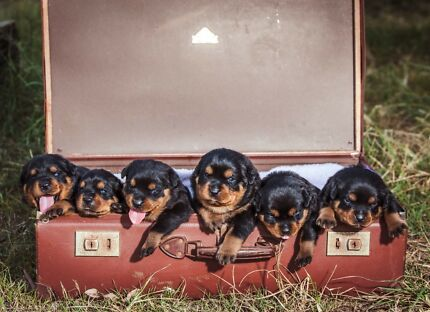 Rottweiler Puppies Purebred With Papers