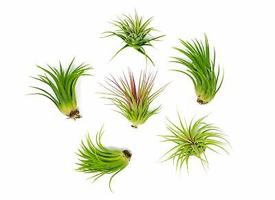 6 Air House Plant Pack Low Light Home Indoor Decoration Trop