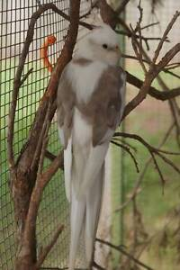 MISSING COCKATIELS X 3 Toowoomba Toowoomba City Preview