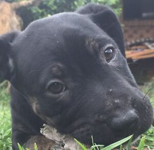 Puppies for sale staffy mix(9 weeks old) Sydney Region Preview