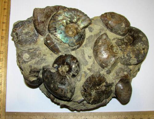 Ammonites Craspedites, Garnieceras and belemnites, Jurassic,  Russia,