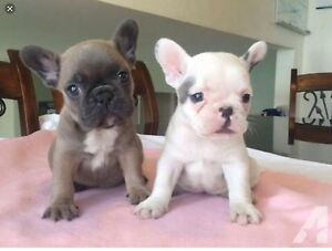 Looking for an (English or French) bulldog puppy