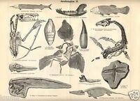 1885= Preistoria= Fossili Giurassico = Stampa Antica = Old Engraving - fossil - ebay.it