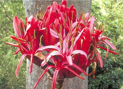 GYMEA LILY - Doryanthes Excelsa - Australian Native Casula Liverpool Area Preview