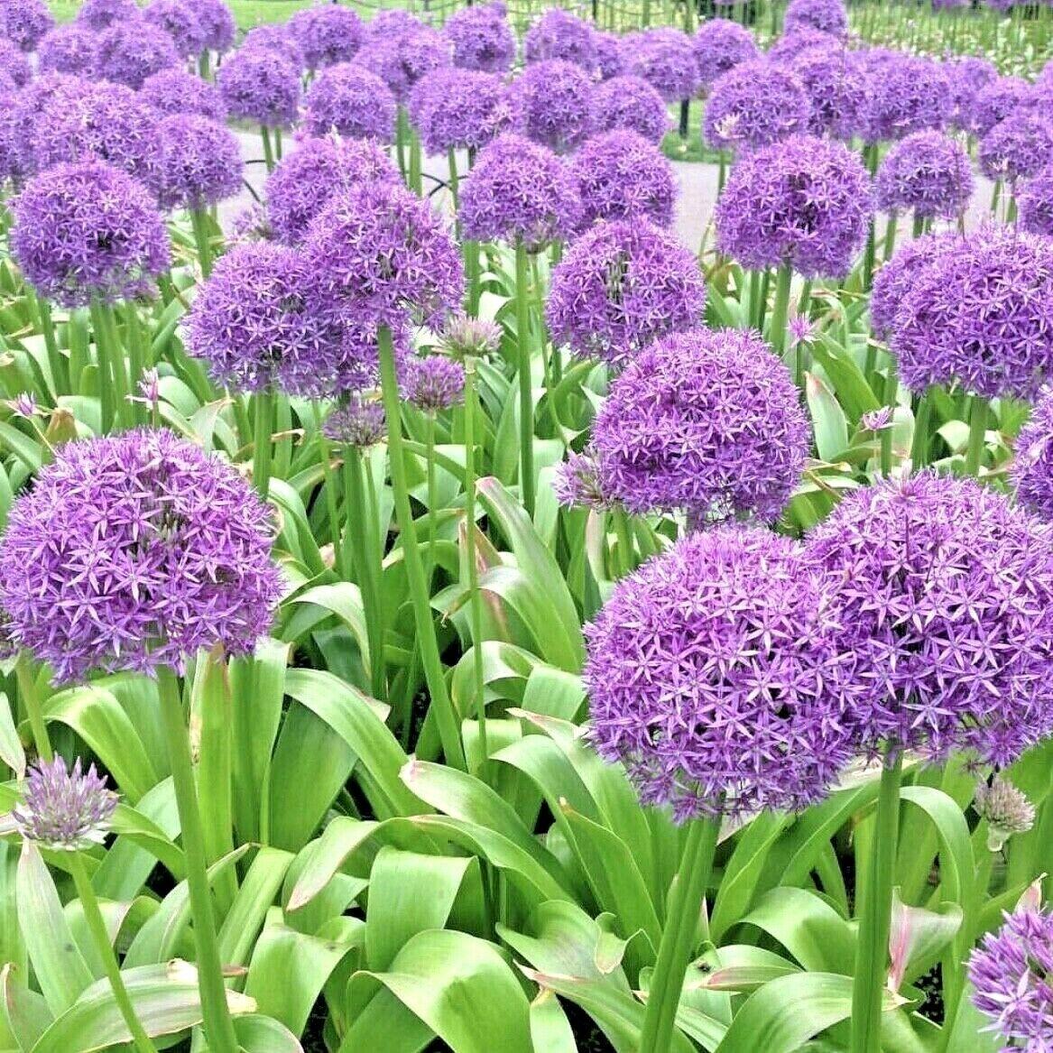 8 Allium Bulbs Gladiator Giant Perennial Plant Spring Flowering
