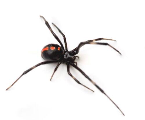 Southern Black Widow Spider Latrodectus mactans Real Male Female Pair Dead Wet