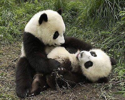 Panda Bear 8 x 10 GLOSSY Photo Picture IMAGE #4