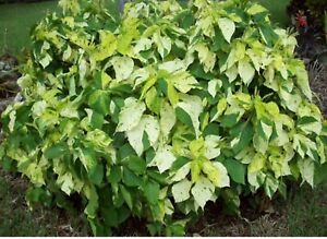 Acalypha green and gold Stapylton Gold Coast North Preview