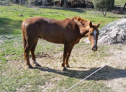 Stockhorse gelding -Acres breeding