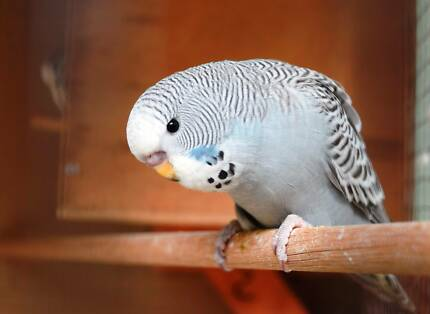 Beautiful Baby Budgies For Sale, Normal $15 English $20