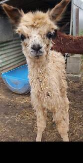 Mum and baby boy alpaca. Great pets or poultry guards etc