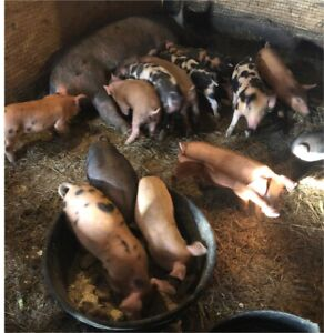 Heritage Piglets now available