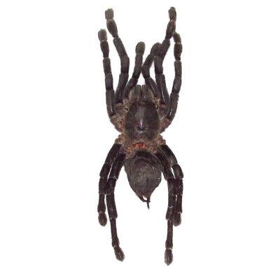 REAL TARANTULA HAPLOPELMA SPIDER ARACHNID UNMOUNTED (Spider Tarantula)