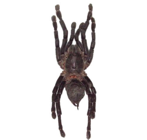 REAL TARANTULA HAPLOPELMA SPIDER ARACHNID UNMOUNTED