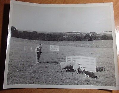 1950'S ACTUAL 8 X 10 PHOTO OF CARL BRADFORD BORDER COLLIES PENNING SHEEP WOOSTER