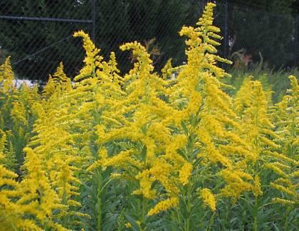 JAC rare plants - golden rod -- solidago canadensis Greenbank Logan Area Preview