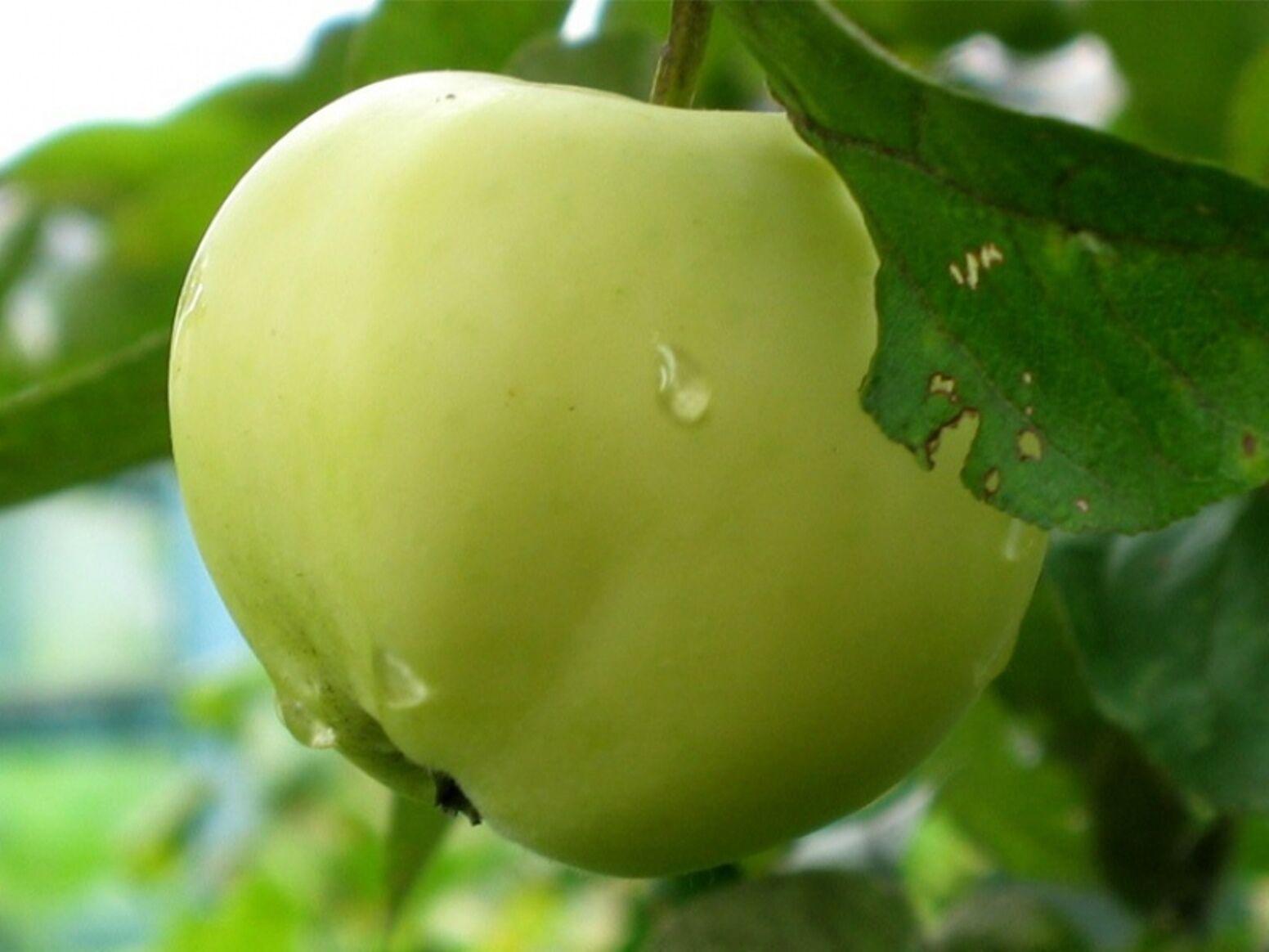 Apfel Belij Naliv,Sommerapfel,Zwergapfelbaum,Apfelbaum ca.120 cm, Белый Налив
