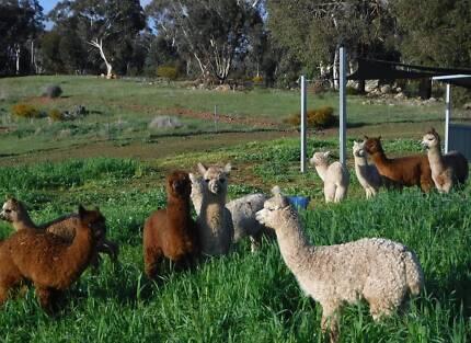 Alpaca Pets, Herd Guards or Breeders Geraldton 6530 Geraldton City Preview