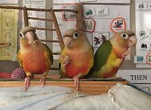 Handraised Conure Baby Birds - no more until August Caboolture Caboolture Area Preview