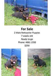 Rottweiler Puppies Warwick Southern Downs Preview