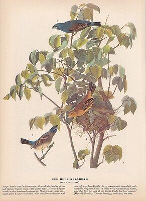 """1942 Vintage AUDUBON BIRDS #122 """"BLUE GROSBEAK"""" Color Art Plate Lithograph"""