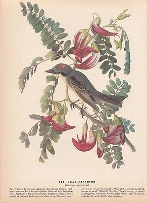 "1942 Vintage AUDUBON BIRDS #170 ""GRAY KINGBIRD"" Full Color Art Plate Lithograph"