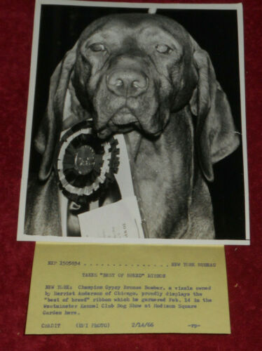 "1966 Press Photo ""Champion Gypsy Bronze Bomber"" Vizsla Westminster Best of Breed"