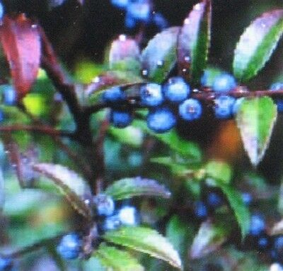 Huckleberry   100 Seeds   Medicinal  Healthful