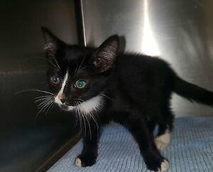 8 Week Old Black & White Kittens Desexed All Vet Work Done Melton Melton Area Preview