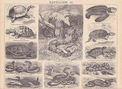 Reptilien Schildkröten Schlangen HOLZSTICH von 1886 Boa Kreuzotter Matamata