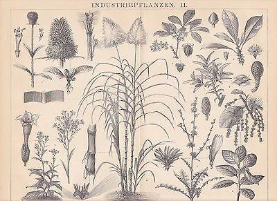 Industriepflanzen Tabak Zuckerrohr HOLZSTICH von 1884 Kautschuk Korkeiche