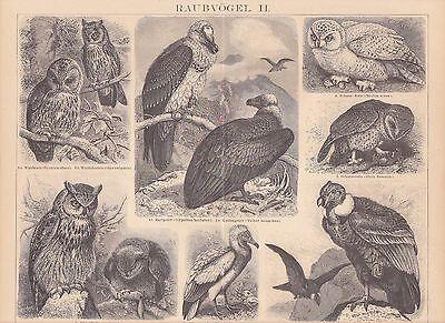 Condor Vogel (Raubvögel Schnee-Eule Uhu Waldkauz Condor HOLZSTICH von 1886 Bartgeier)