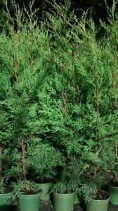 10 X 4 foot TREES GREEN LEYLANDII HEDGE FAST GROWING CONIFER PLANTS 2 LT POT